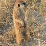 teen meerkat