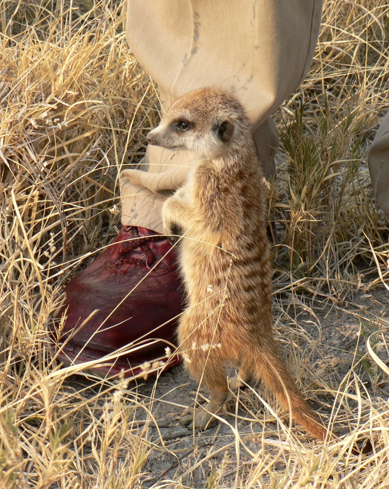 teen meerkat and minder