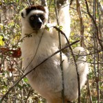 verreaux sifaka lemur