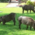warthogs grazing Vic Falls hotel lawn