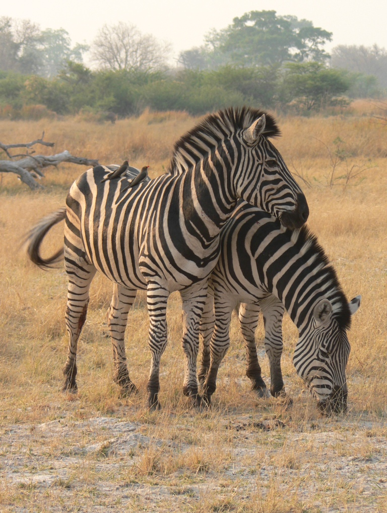 zebras delta