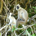 Black faced langurs Yala NP