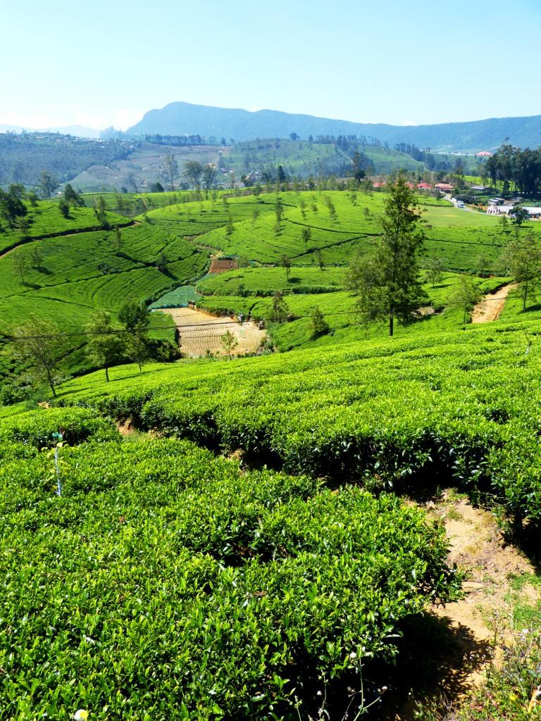 Hill country tea estates