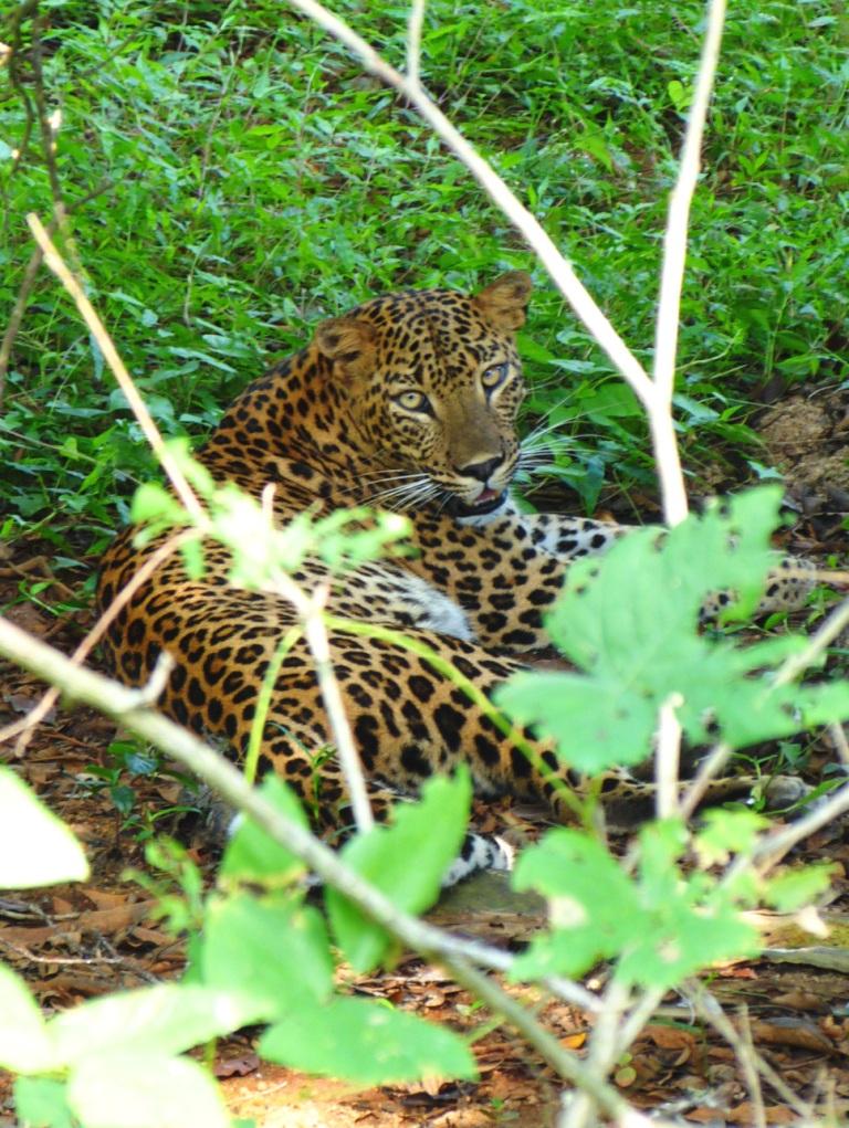 Leopard Yala NP
