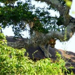 Leopard on the move Yala NP