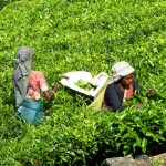 Tamil tea pickers