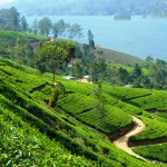 Tea plantation Mausakely