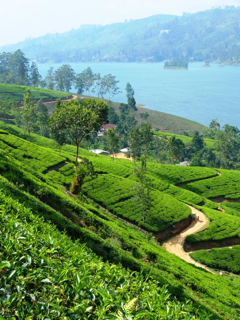 Tea plantation Mausakely