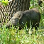 Wild boar Yala NP