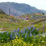 Narsaq wildflowers