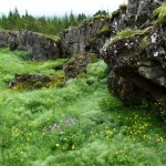 wildflowers Thingvellir