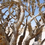 Frankincense tree-