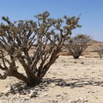 Frankincense trees Dhofar-