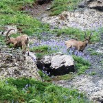 Ibex Bighorn mountain goats Gobi