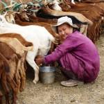 Milking goats Gobi Desert