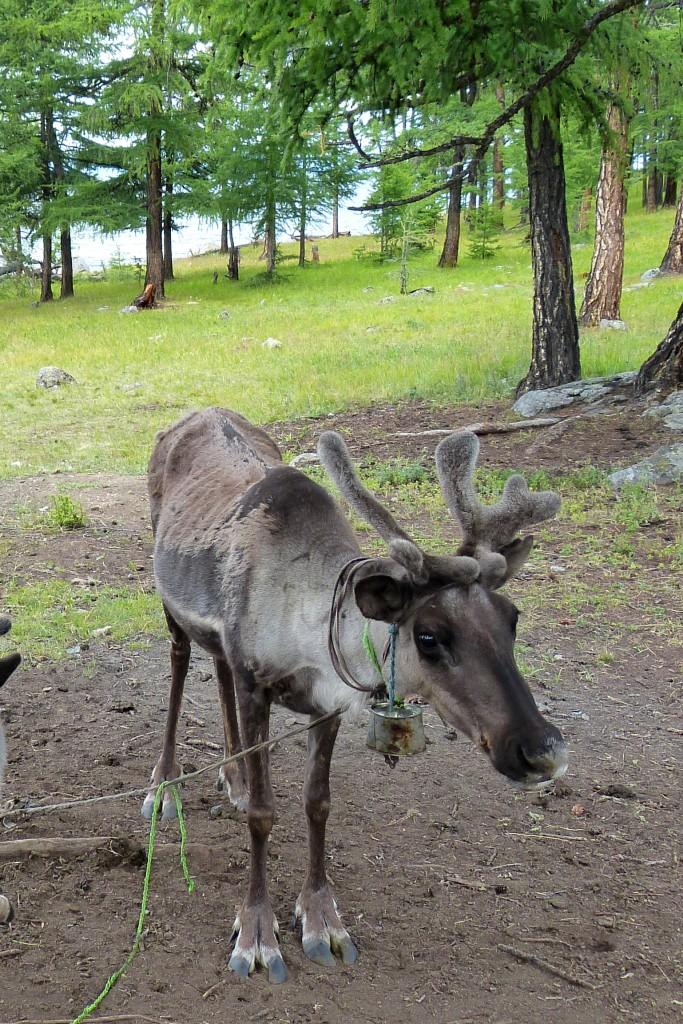 Reindeer Northern Mongolia