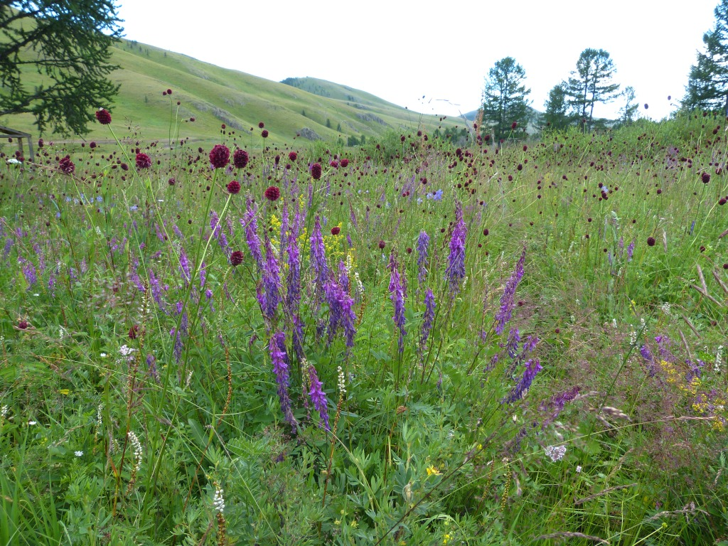 Wildflowers Central Mongolia