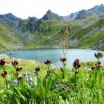Gentian wildflowers Lake Louvie Day 3