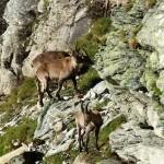 Ibex mountain goat