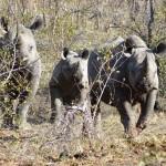 Black rhino family