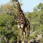 Splendid Giraffe