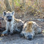 Hyenas snoozing
