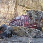 Hyenas on buffalo kill