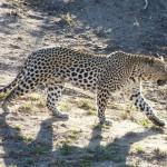 leopard04