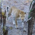 Spot the leopard