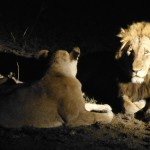 Lions by night
