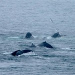 Pod of humpbacks feeding