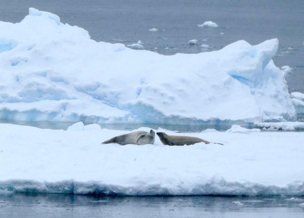 Crab eater seals