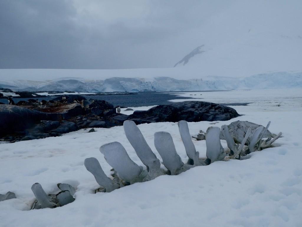 Whale bones Port Lockroy