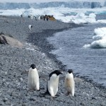Adelie penguin gang