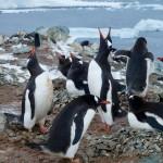 Gentoo penguin rookery