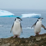 Chinstrap penguin pair