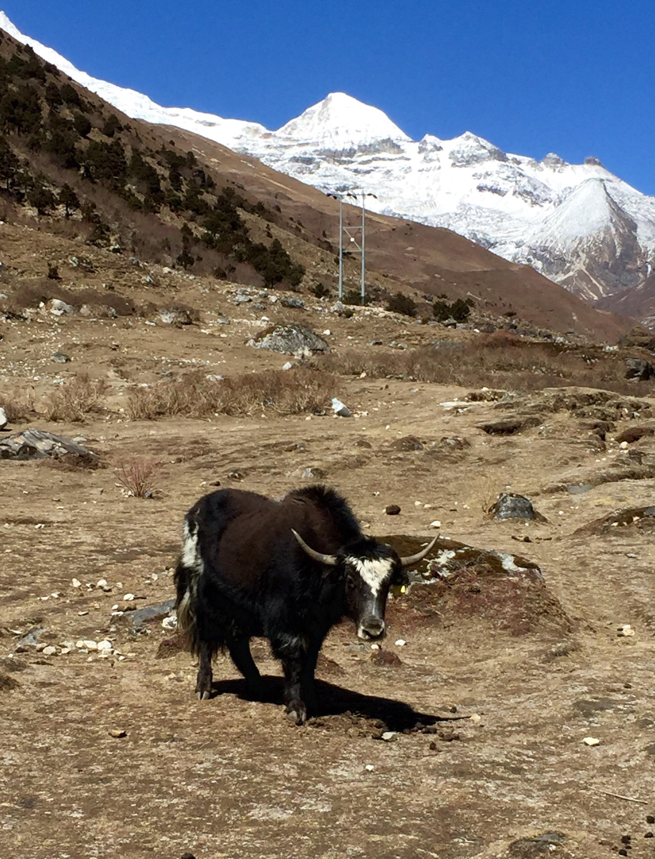 Yak Bhutan Himalaya