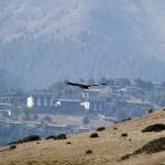 Himalayan Griffon flying over Phobjikha Valley