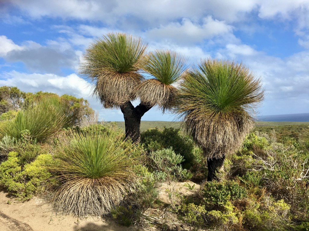 Magnificent Grass Trees