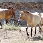 Przjewalski wild horses