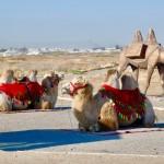 Bactrian camels Kazakhstan